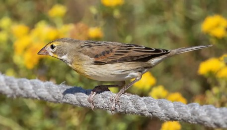 Dickcissels were found in greater than average numbers, with this bird at Ocean Beach 4 Oct 2019 being one of nine in coastal San Diego Co, California alone. Photo © James R. Morris.