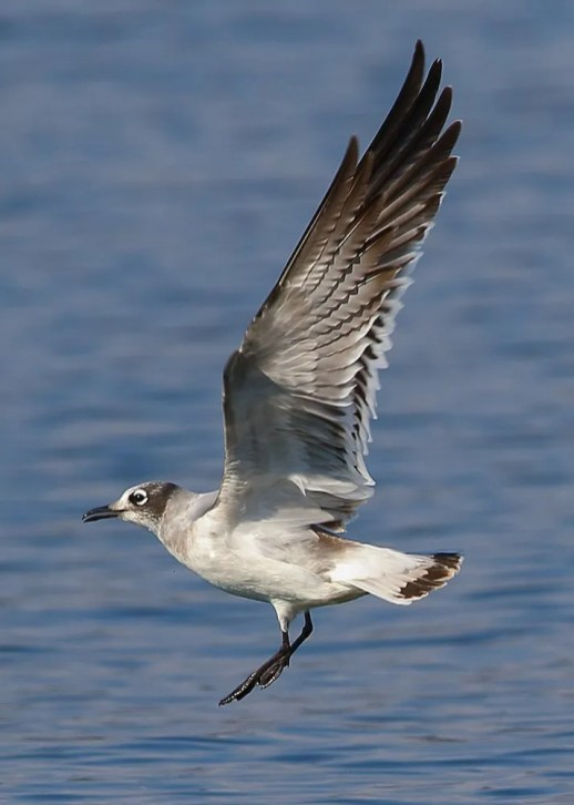Franklin's Gull is rare but expected locally, usually in small numbers, in Alabama in mid-late autumn. This first-cycle bird was at a favored site at Guntersville, Marshall Co 1 Oct 2019. Photo © Bala Chennupati.