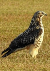 Regularly appearing in late fall in southern Baldwin Co, sometimes in small flocks, up to 12 Swainson's Hawks gave Alabama a new maximum at a favored sod farm 4–16 Nov 2019 (here 6 Nov). Photo © Eric Haskell.