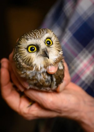 Cute as a button (unless you're a mouse), sleepless nights netting in Marshall Co yielded Mississippi's sixth Northern Saw-whet Owl 18 Nov 2019. Photo © Judy Dorsey.