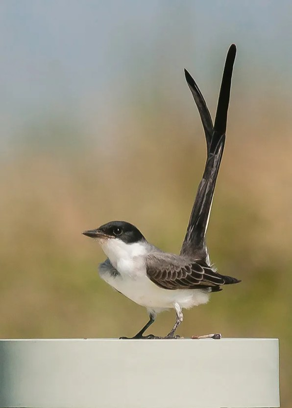 The sixth for Alabama, and first in autumn, a Fork-tailed Flycatcher dazzled birders at Fort Morgan State Historical Park, Baldwin Co 5–7 Sep 2019 (here 5 Sep). Photo © Kathy Hicks.