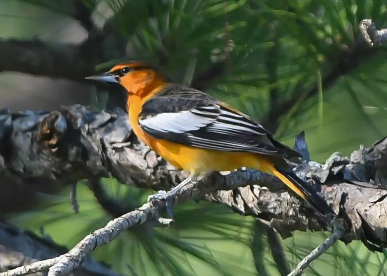 More often discovered at winter feeders than while field birding, especially in fall migration, and only the sixteenth for Alabama, a vibrant adult male Bullock's Oriole 7 Sep 2019 joined the rarity show at Fort Morgan State Historical Park, Baldwin Co. Photo © Jordan Broadhead.