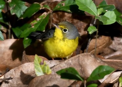 Caption 35. Lingering in Fairhope, Baldwin Co to 4 Nov 2019, this Canada Warbler was the latest on record for Alabama. Photo © Edlyn Burch.