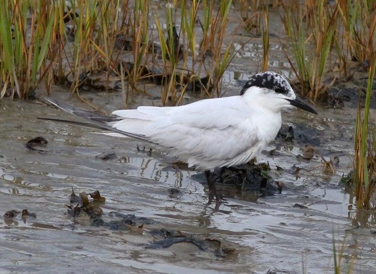 This Gull-billed Tern was one of 2 present together at Kamouraska 16–22 September (here 16 September). This record was only the second for the region. Photographed by © François Smith.