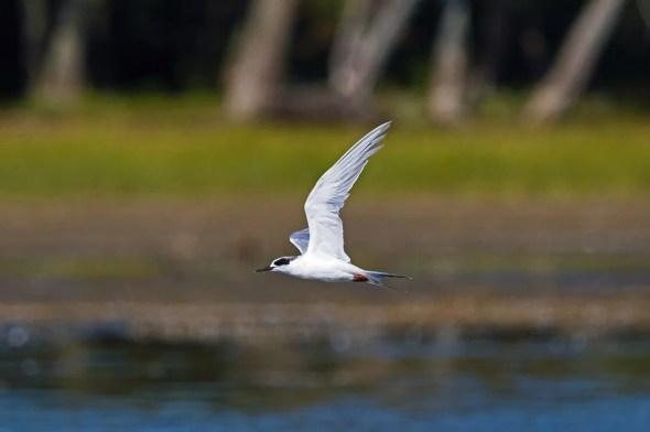 Probably an annual fall vagrant, this Forster's Tern was seen at Venise-en-Québec 20–24 September (here 21 September). Photographed by © Jocelyn Dubé.