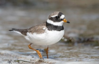 This Common Ring-Plover at Petit-Saguenay 28 August furnished a fifth record for the province. Photographed by © Annie Lavoie.