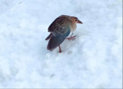 This Purple Gallinule at Girardville 24 November did not seem to appreciate the snow. Photographed by © David Gagnon.