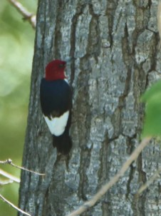 A good find near Vauxhall, Alberta on 2 June 2019 was this Red-headed Woodpecker. It was one of two birds recorded in the province this summer. Photo by © Colin Starkevich.