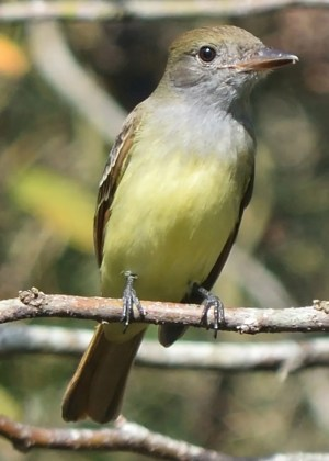 While not a rare bird in Louisiana, Great Crested Flycatcher is unheard of in the state after fall migration. This individual discovered 14 Dec 2019 near Creole, Cameron Parish, represents Louisiana's first ever winter season record for this species. Photo © Paul Conover.