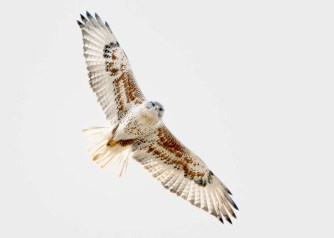 On 1 Feb, this adult Ferruginous Hawk was found at the currently active Bear Run Mine in Sullivan Co, Indiana. It remained there on its winter territory through the rest of the season, attracting much attention from birders and other raptor enthusiasts. 7 Feb 2020. Photo © Michael Brown.