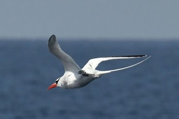 Red-billed Tropicbirds are normally found far offshore during the warmer months of the year, so this one found only 2 km off Dana Point, Orange Co, California on 18 Feb 2020 was doubly surprising. Photo © Lorrianah Hespe