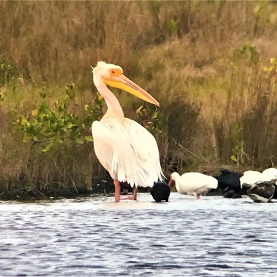 Hundreds of birders made the search for this extraordinary Great White Pelican at Merritt Island NWR, Brevard Co, 23 Jan–24 Feb. It is apparently the same bird that has appeared on the west coast of Florida for several winters. Debate continues on the provenance of this bird. Photographed here on 7 Feb 2020. Photo © Michael Brothers.
