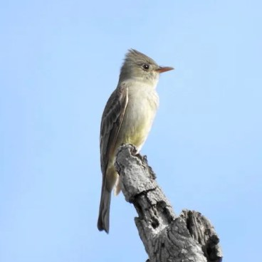 This Greater Pewee at Balboa Park in San Diego, San Diego Co, California 25 Nov 2019–19 Feb 2020 (here on 18 December) was one of three present this winter in the Southern California Region. Photo © Charlotte Morris