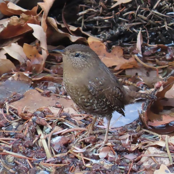 Rare for Colorado, this Pacific Wren was one of multiple sightings this season, found during a Christmas Bird Count at Palmer Loop, El Paso Co. 14 Dec 2019. Photo by Cody Ensanian.
