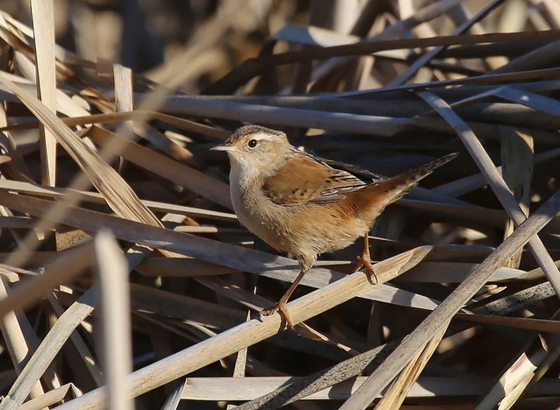 This Marsh Wren photographed at Nicolet 28 Dec 2019 survived until at least 15 Jan 2020, establishing a new record-late date for the region. Photo © Yves Dugré.