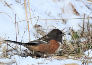 This adult male Spotted Towhee was found at Sugar Valley Boat Ramp in Boone Co, Iowa on 21 Jan 2020. Photo © Clayton Will.