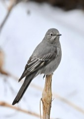 This Townsend's Solitaire, seen here 19 Jan, was present 19 Jan–4 Feb 2020 at Silver Springs SP, Kendall Co, Illinois. This species is occurring with increasing regularity in the Illinois and Indiana region. Photo © Jeff Nelson.