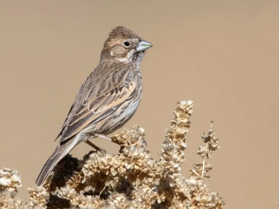 One of only two Lark Buntings noted this winter, this individual in Jacumba, San Diego Co, California was present 17 Dec 2019–12 Feb 2020 (here on 20 Dec). Photo © James R. Morris