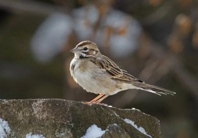 This Lark Sparrow photographed 22 Dec 2019 at the Montreal Technopark was present 24 Nov 2019–3 Jan 2020. Photo © Suzanne Labbé.