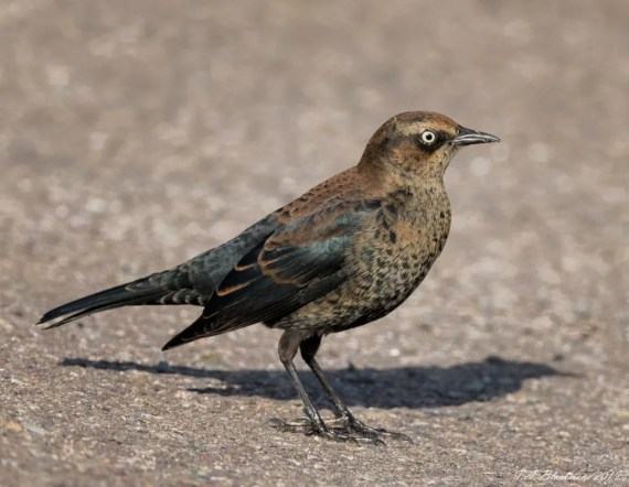 Rusty Blackbirds, declining sharply in their core range, still occur annually in winter in Southern California, although this bird at Ocean Beach, San Diego Co, through the period (here on 9 Dec 2019) was the only one reported this winter. Photo © Thomas A. Blackman