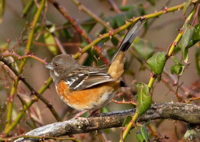 During the Patoka Lake Christmas Bird Count on 20 Dec 2019, this female Spotted Towhee was found in a mixed species feeding flock that included multiple Eastern Towhees. It remained at this Crawford County, Indiana site through at least 17 Jan and was seen and photographed by many. Photo © Susan Hengeveld.