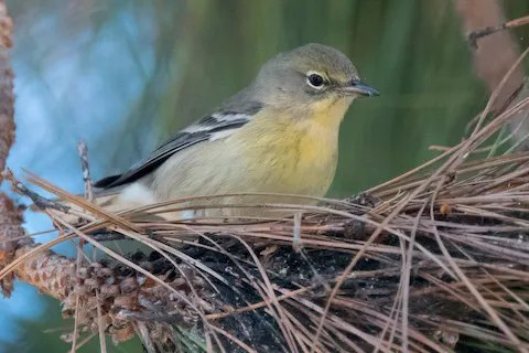 This returning Pine Warbler at Coronado, San Diego Co, 14–31 Dec (here on 20 Dec), was one of three found in the Southern California Region this winter. Photo © Nancy Christensen