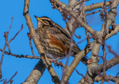 This Redwing, one of three in Newfoundland this season, was at Clarenville 31 Jan–1 Feb (here 31 Jan). Photo © Frank King