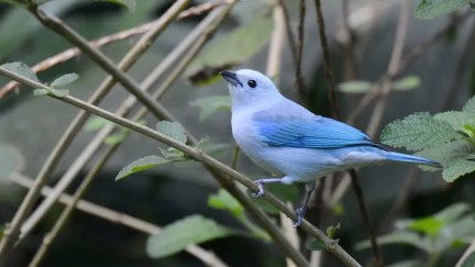 20140119-20140119-SS8_3294-Blue-grey-Tanager