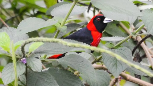 20140121-20140121-SS1_9830-Crimson-collared-Tanager