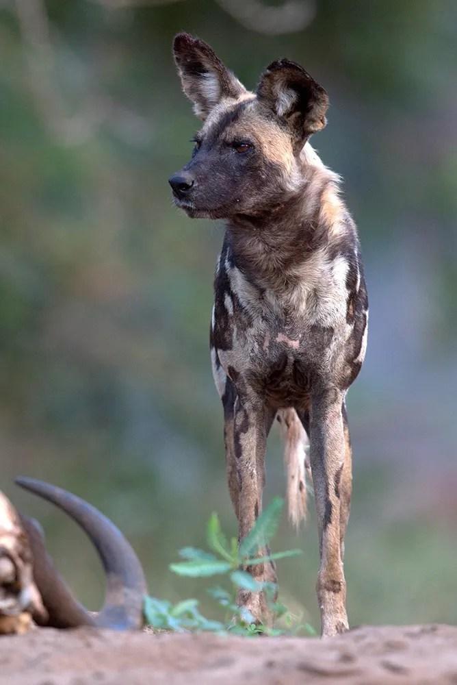 Dog,-African-Wild-MPGR-AR