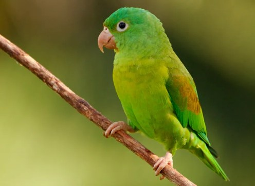 Orange-chinned-Parakeet-Martin-Van-Lokven