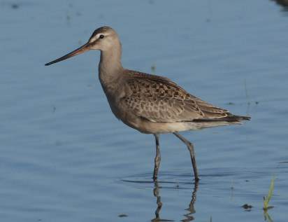 This Hudsonian Godwit, which showed up the same day as one in Multnomah, graced the Royal Avenue vicinity of Fern Ridge Reservoir 17–30 Sep. There are 30 previous sate records, including 11 in the past eight years. Photo by © Jim Hardman.