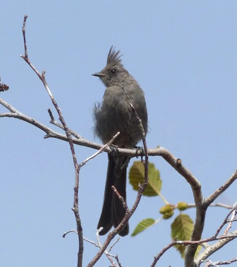 Given their relative abundance in parts of northern California, the extreme rarity of Phainopepla in the state is a bit of a perplexity. Even more surprising is that Harney has the most records of any county: This individual at Page Springs Campground 7–13 Sep was the the 3rd county and 9th state record. Photo by © Mark Nikas.