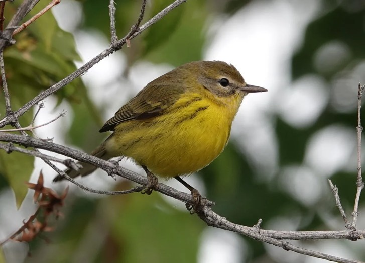 Malheur NWR Headquarters got its 4th Prairie Warbler—and the state's 17th—on 10 Sep. Predominantly a coastal vagrant, the state's five inland records fall between 10-27 Sep. Photo by © Don Sutherland.