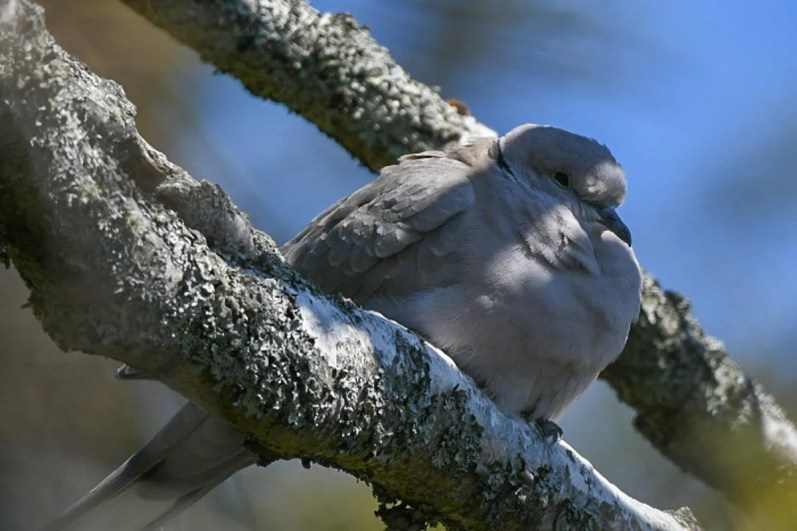 This Eurasian Collared Dove, a species whose broad expansion in North America has largely excluded New England, was found on 14 May 2020 at Pemaquid Point, ME. This was Maine's 3rd record. Photo by © Sean Hatch