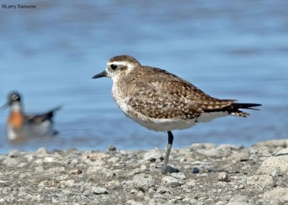 Still largely in basic plumage, as expected, this American Golden-Plover was at the Ventura County Game Preserve on 5 May 2020. Photo © Larry Sansone.