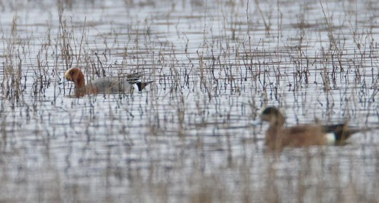 Found in late February in the Wheeling Bottoms of Gibson Co, Indiana, this drake Eurasian Wigeon lingered through 7 Mar. 2 Mar 2020. Photo © Evan Speck.