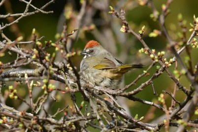 British Columbia's 13th Green-tailed Towhee appeared in a private garden in the West Kootenay town of Nakusp. 5 May 2020. Photo © Julia Flesaker.