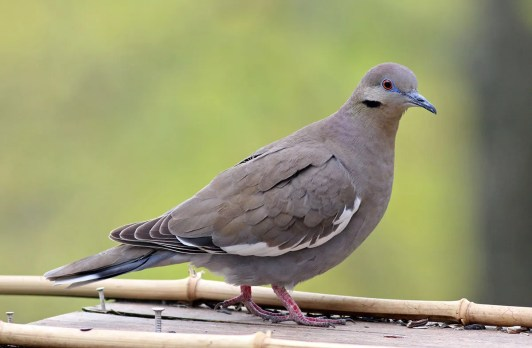 More and more White-winged Doves are turning up in the Illinois & Indiana region. This individual, present 14–18 Apr in Massac Co, Illinois, was one of nine noted this season. 14 Apr 2020. Photo © John Schwegman.
