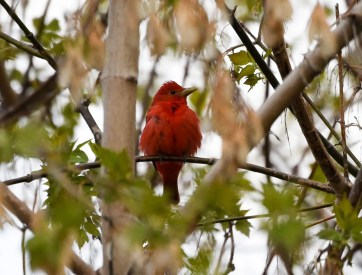 This male Summer Tanager, British Columbia's eighth, was a one-day wonder in a private garden in the East Kootenay town of Invermere on 8 May 2020. Photo © Cam Gillies