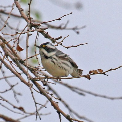 This female Black-throated Gray Warbler, at an abandoned farmstead on the open plains near Wheeless, Cimarron, Oklahoma 15 May 2020 was an exceptional find. Photo by © Joseph Grzybowski.