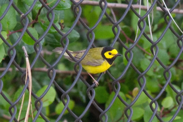 This Hooded Warbler was one of five in the region this spring, and one of two at Point Loma in San Diego County; this bird was present 9 May, and another was found there later in the month. Photo © Justyn T. Stahl.