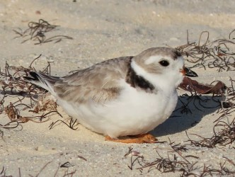 A Piping Plover was a good find for Jacqueline Cestero at Cove Pond, Anguilla on 6 Mar 2020. Photographed here on 6 Mar. Photo © Jacqueline Cestero.