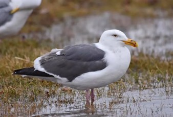 This Western Gull at Grande Prairie on 5 May 2020 was a first for Alberta and only the second for the Prairie Provinces. The only previous record for the region was of a bird at Regina, Saskatchewan in spring 2003. Photo © Sylvain Bourdages.