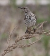 This Sage Thrasher was Iowa's first since 1985 at Saylorville Reservoir, Polk Co 4–5 May 2020. Photographed here 4 May. Photo © Stephen Dinsmore.