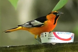 Missouri's third Bullock's Oriole visited feeders at two separate residences near Buffalo, Dallas Co 8–9 May 2020. Photographed here 9 May. Photo © Mark Robbins.