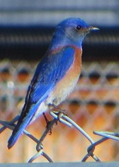 Increasing numbers of Western Bluebirds have been recorded in southern Alberta in recent years. This bird at Canmore on 23 April 2020 was one of three noted during the spring of 2020. Photo © Jennifer Stelfox.