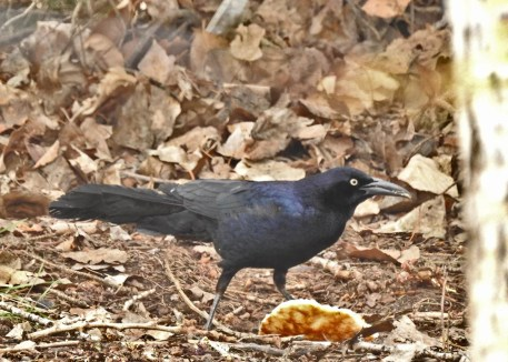 Several Great-tailed Grackles have been reported in the Prairie Provinces in recent years. This bird was at Calgary 11 May 2020. Photo © Michael Sveen.