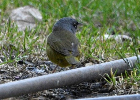 This MacGillivray's Warbler, the second for Manitoba, made a brief visit to a St Jean-Baptiste yard, long enough for the photographer to take some images. Photo © Joy Snidal Manikel.