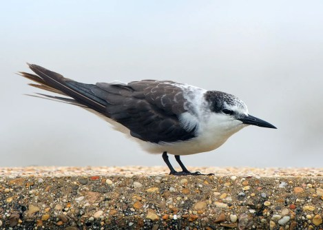Frequently encountered along coastal areas during Tropical Storm Cristobal's landfall, this Bridled Tern (seen here 8 Jun 2020) at Long Beach, Harrision Co was one of several seen during the tropical event. Photo © Collin Stempien.